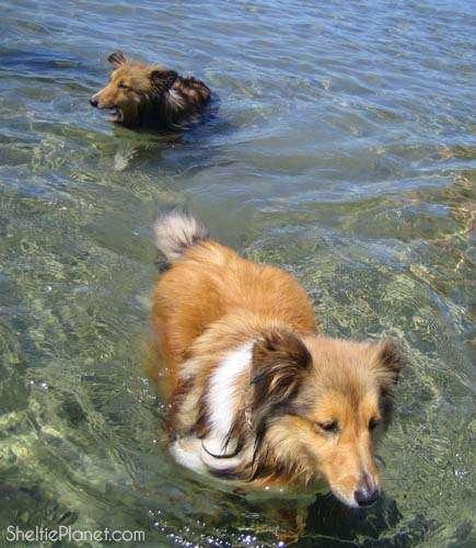 Shelties Swimming