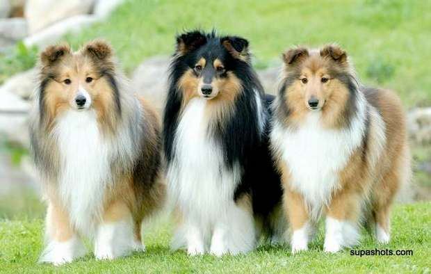 Shelton Shelties