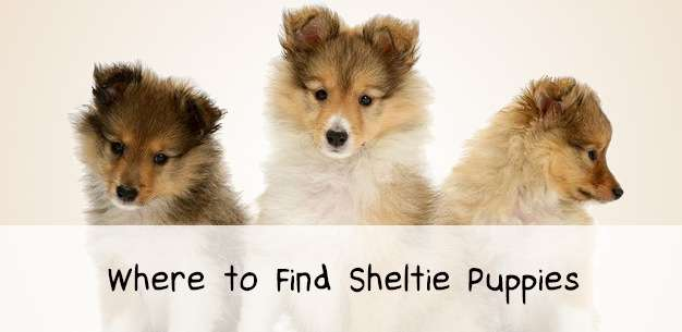 Find Sheltie Puppies For Near You