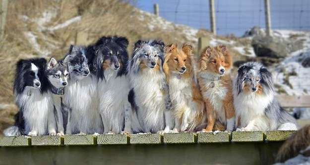 Shetland Sheepdog Breeders in The UK