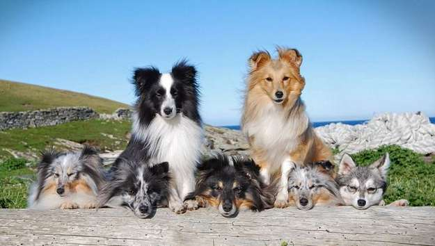 232 Shetland Sheepdog Breeders In The Us In 2018