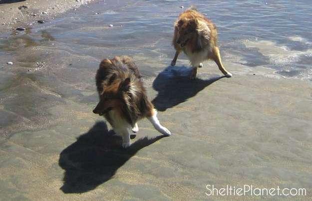 Shetland Sheepdog Games