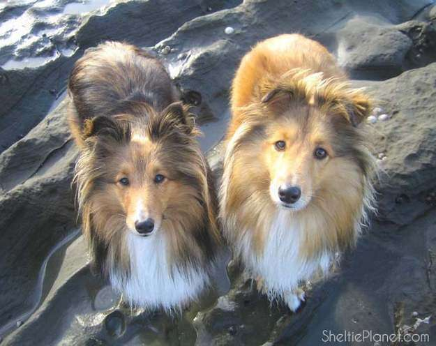 Shetland Sheepdog Grooming
