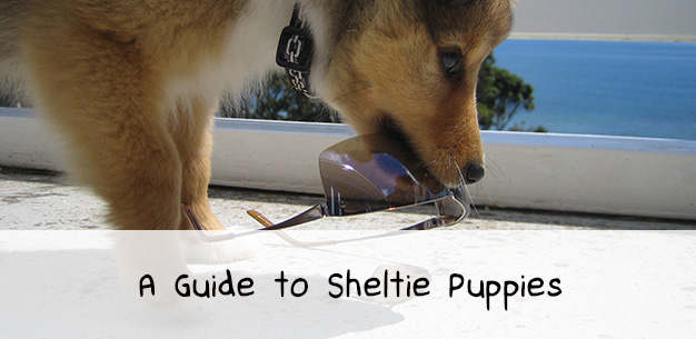 A Guide to Sheltie Puppies