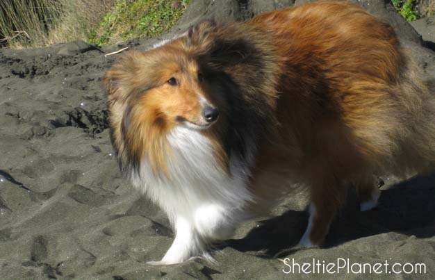 Shelties Can Be Shy Dogs
