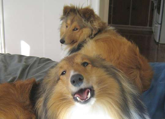 Piper is our singing Sheltie