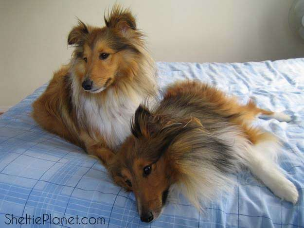 Sleepy Shelties