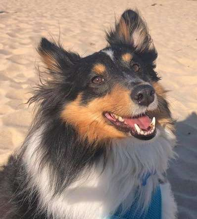 Tanner Sheltie Dog