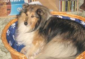 Tessie The Sheltie in Her Bed