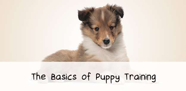 The Basics of Sheltie Puppy Training