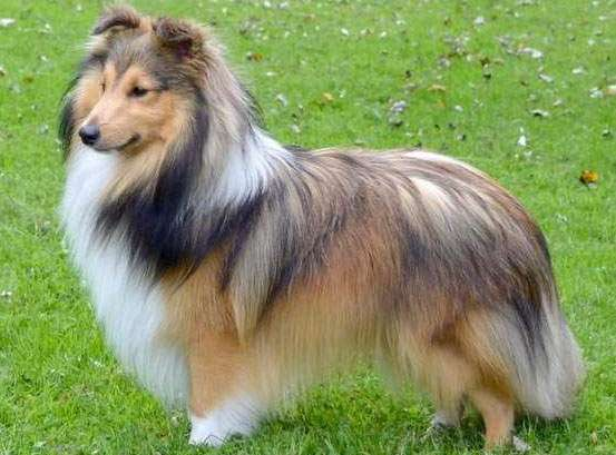 The Sable Sheltie