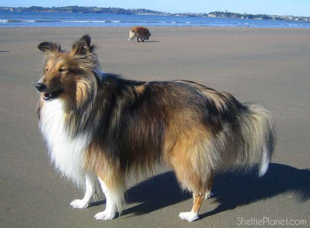 The Sheltie Dog