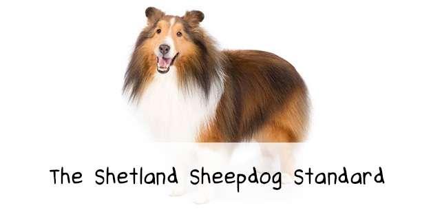 The Shetland Sheepdog Breed Standard