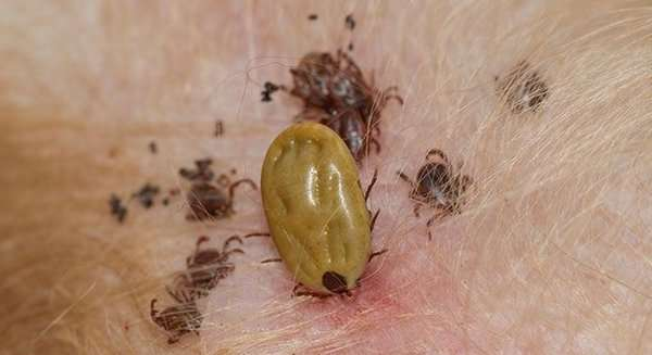 Ticks Biting Dog Skin