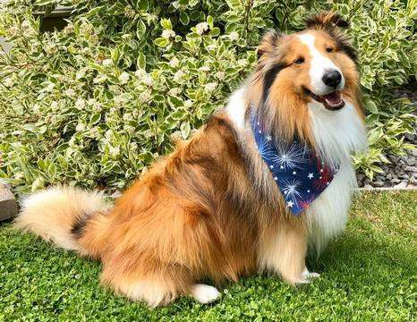 A Sheltie Named Toby