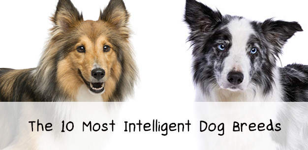 Top 10 Most Intelligent Dog Breeds List