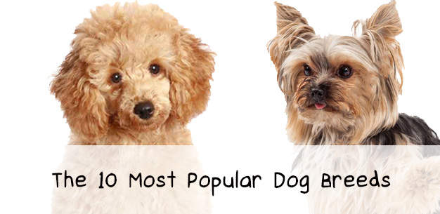 Top 10 Dog Breeds List