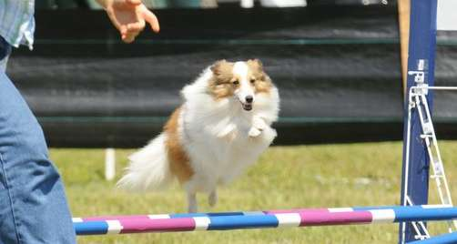 Muriel, A Miniature Sheltie in Agility by Holbrook Toy Shelties