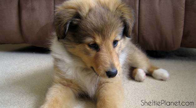Training a Sheltie Puppy Starts with Mutual Trust and Respect