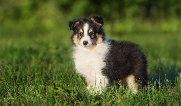 A Tri Color Sheltie Puppy