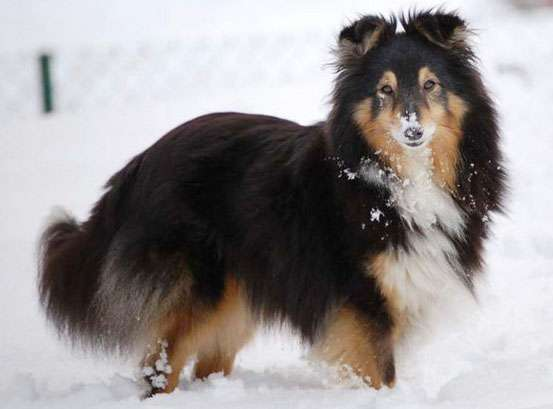 The Tri-Color Sheltie