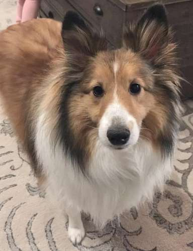 Tyson the Sheltie had surgery to correct Patellar Luxation on both back knee caps