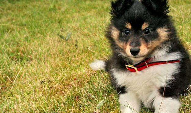 Where to Buy Sheltie Puppies
