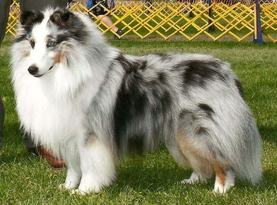 The White Factored Sheltie