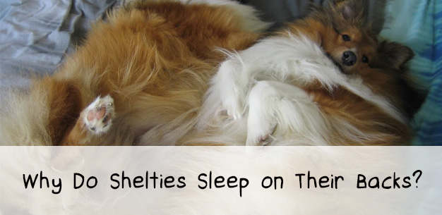 Why Do Shetland Sheepdogs Sleep on Their Backs?