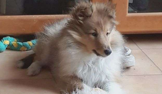 Willow The Sheltie